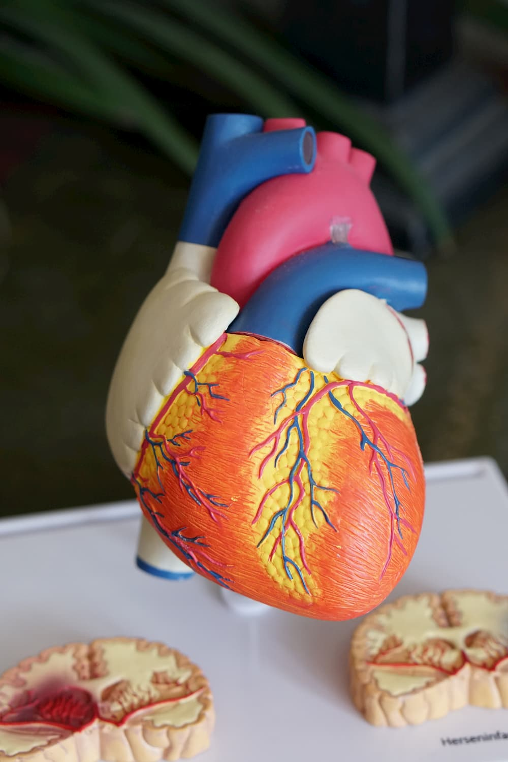 Image of a model of a human heart